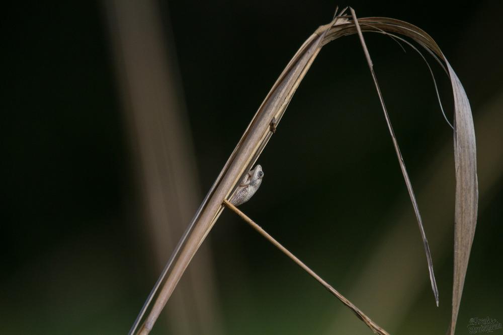 Kleiner unbekannter Frosch im Okavango Delta