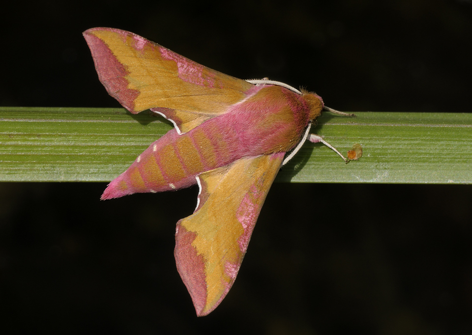 Kleiner Weinschwärmer (Deilephila porcellus)