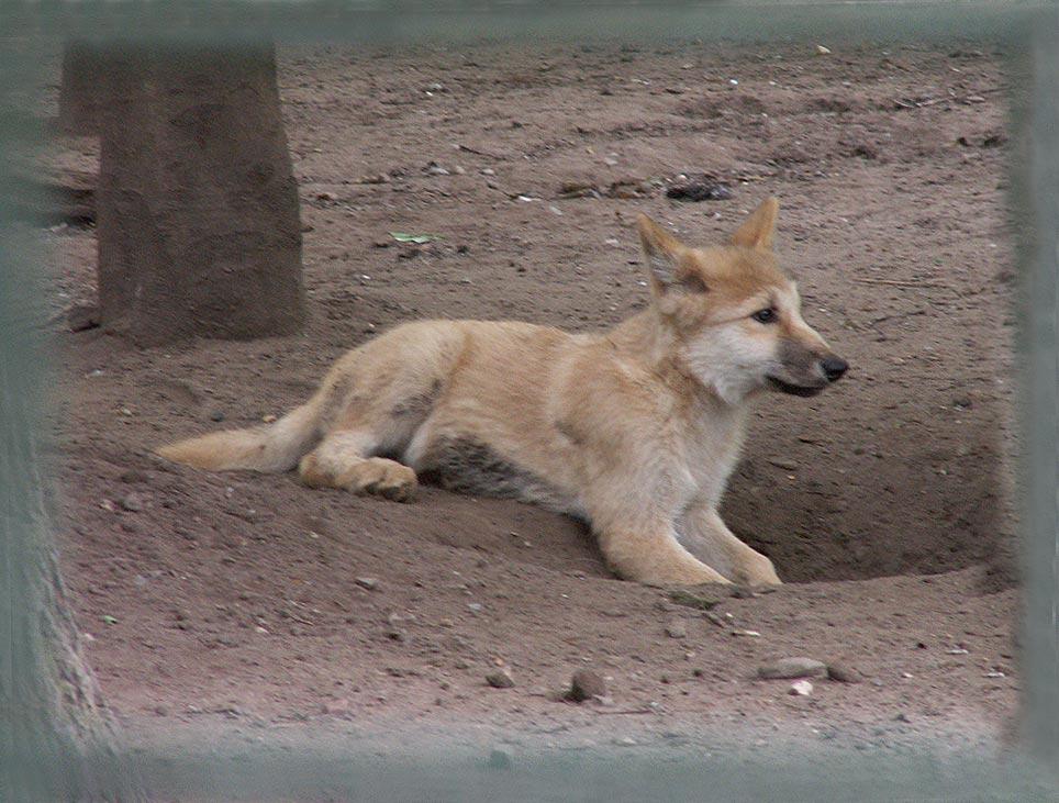 Kleiner Wolf ...