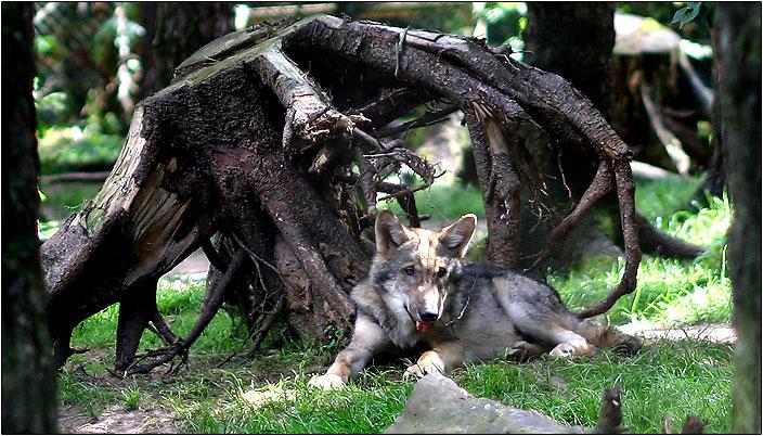 Kleiner Wolf - sieht so ein Raubtier aus?