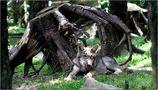 Kleiner Wolf - sieht so ein Raubtier aus? von Hanne B.