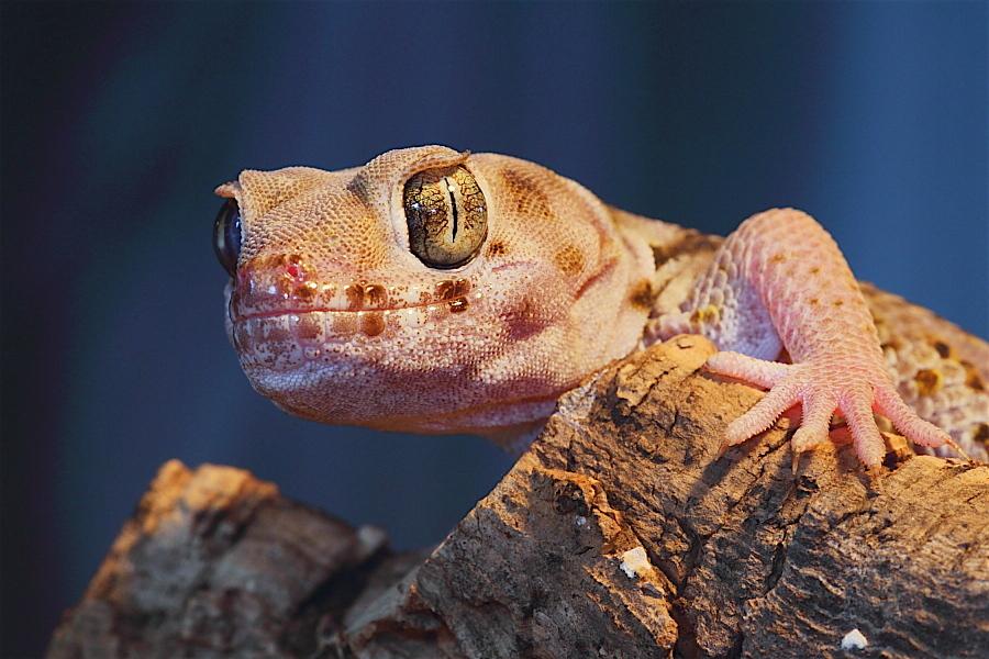 kleiner Wundergecko