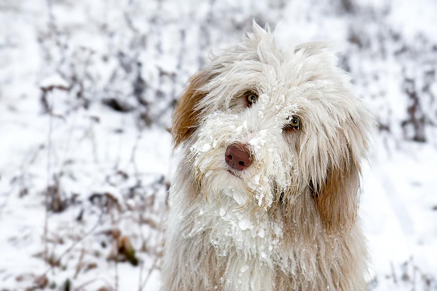 Kleiner Zottelbär im Schnee