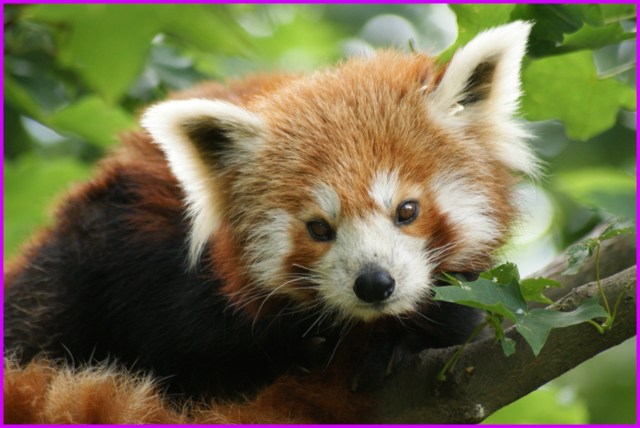 kleiner roter panda foto bild tiere zoo wildpark falknerei natur bilder auf fotocommunity. Black Bedroom Furniture Sets. Home Design Ideas