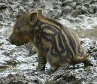 Kleines Dreckschwein