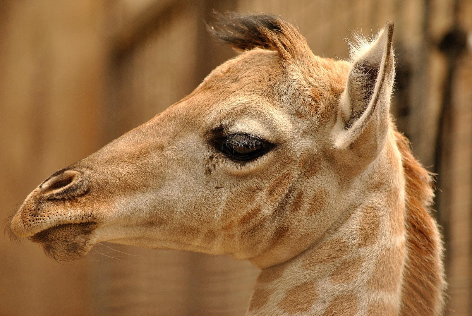 Kleines Giraffenmädchen