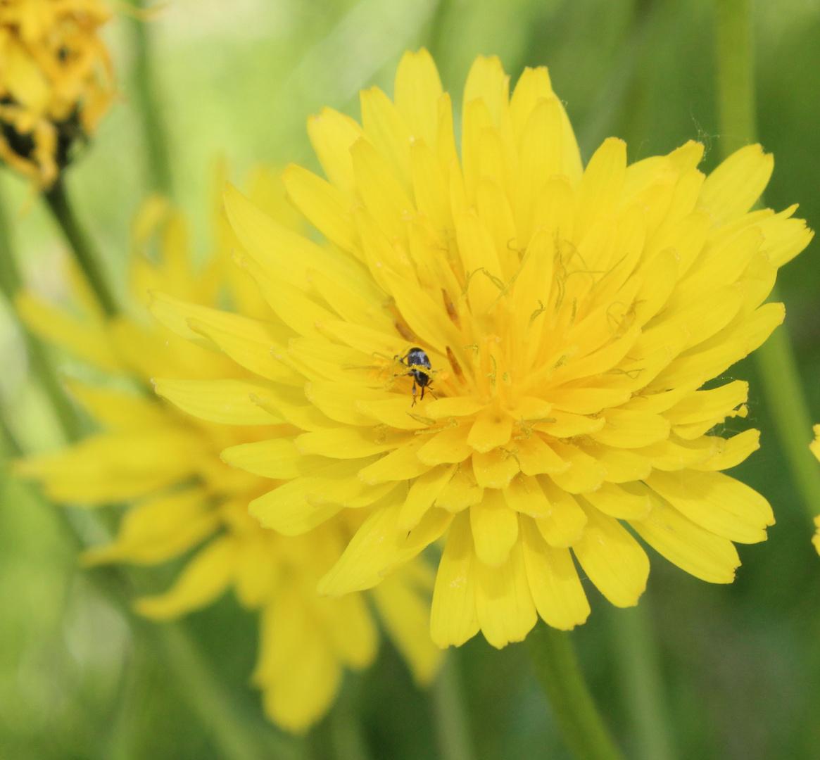 Kleines Insekt auf Blume.