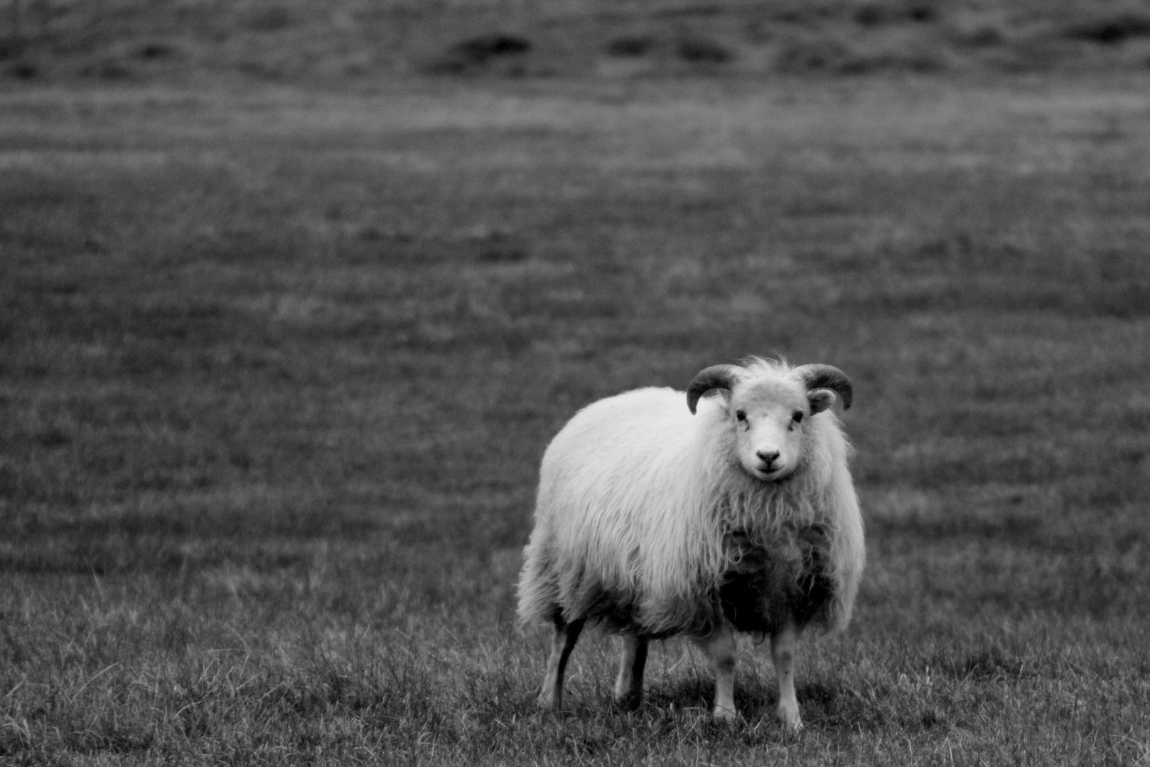 kleines isländisches Schäfchen