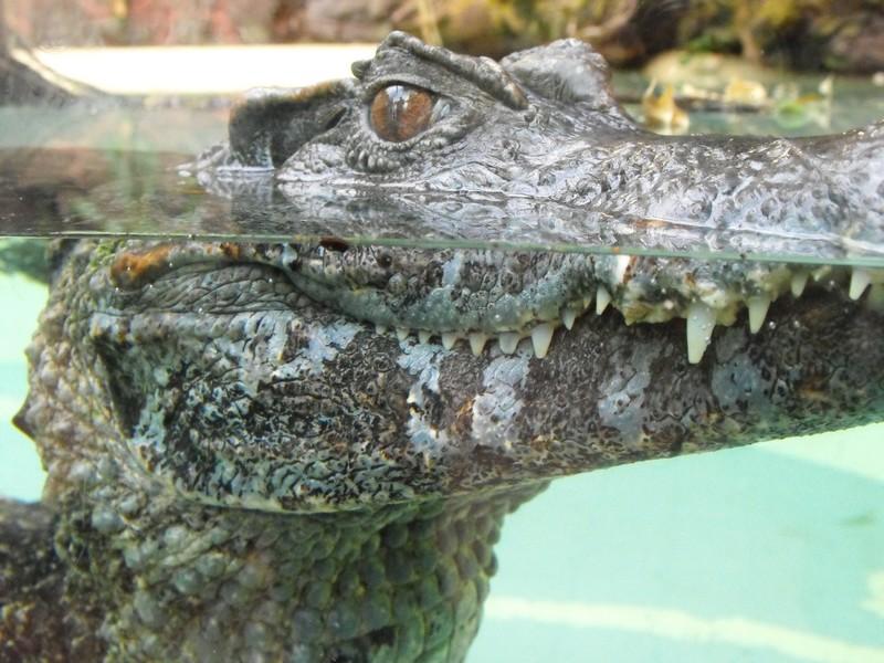 Kleines Krokodil