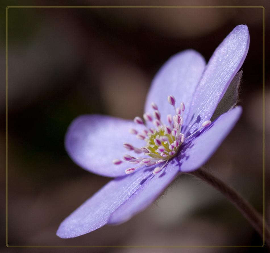 Kleines Leberblümchen...