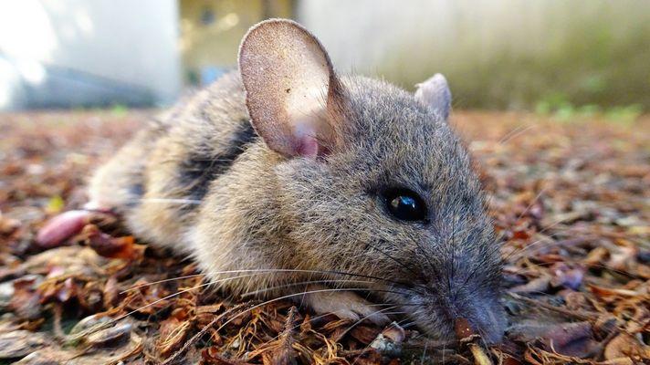kleines Mäuschen