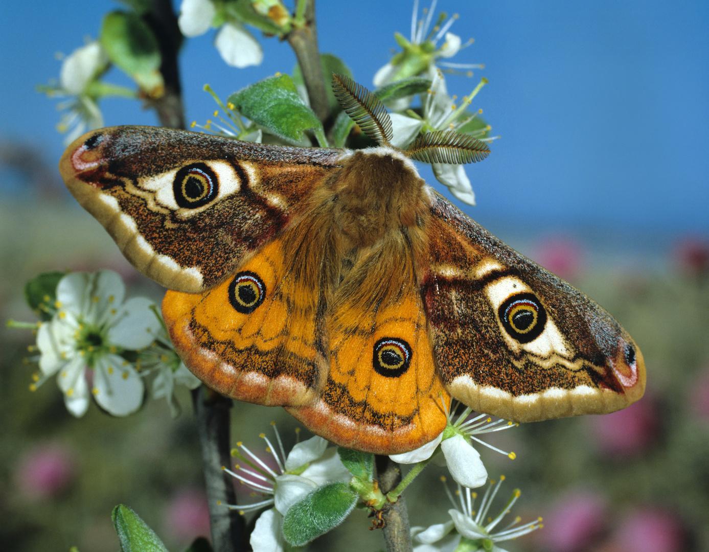 Kleines Nachtpfauenauge an Schlehenblüten rastend, Saturnia pavonia, Small Emperor Moth