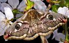Kleines Nachtpfauenauge (Saturnia pavonia)...