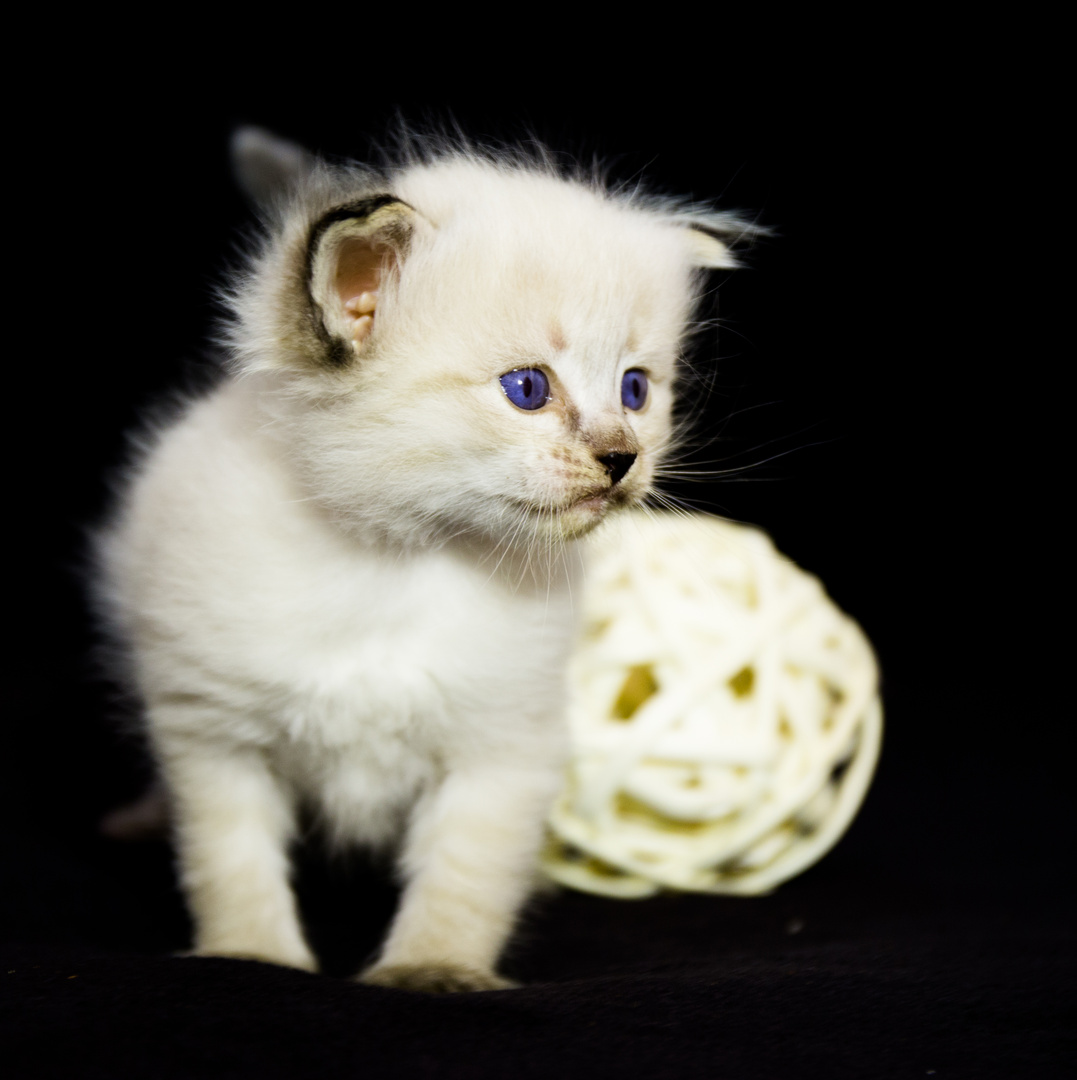 kleines Neva Masquarade Kitten