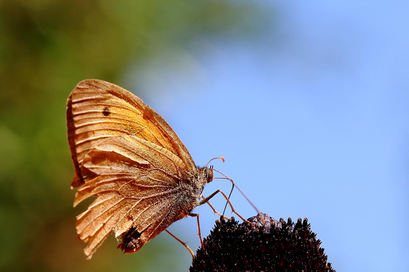 Kleines Ochsenauge (Hyponephele lycaon) am Sonnenhut