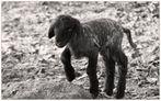 kleines schwarzes Schaf  sucht  seine Mutter...
