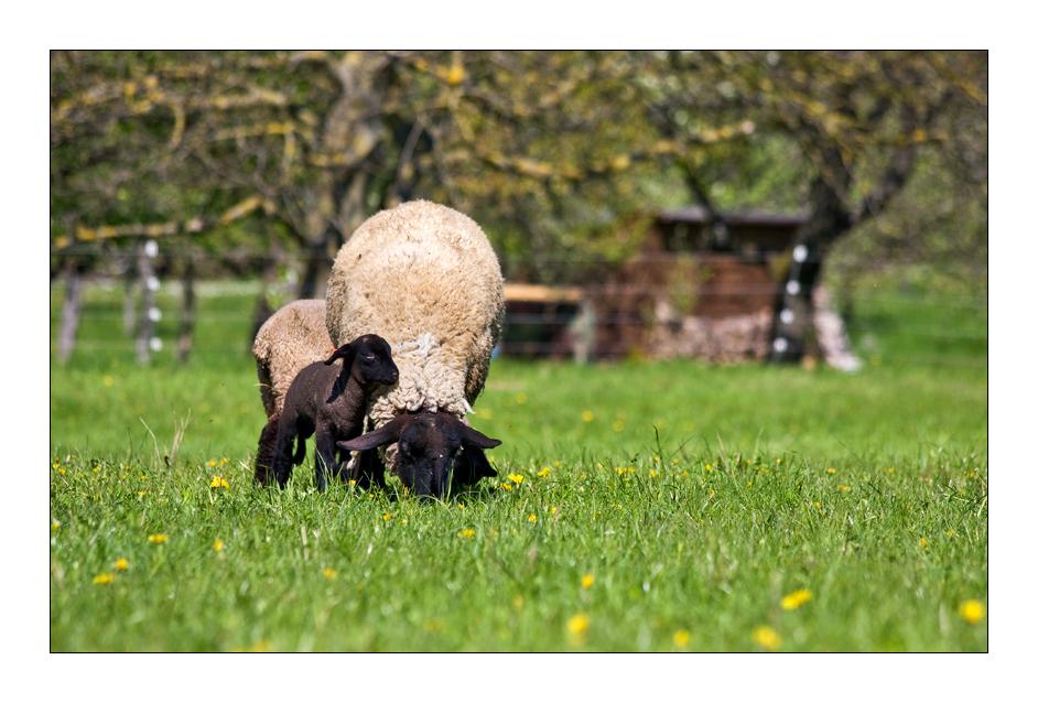 kleines schwarzes Schaf sucht Zuwendung