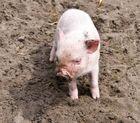 Kleines Schwein,