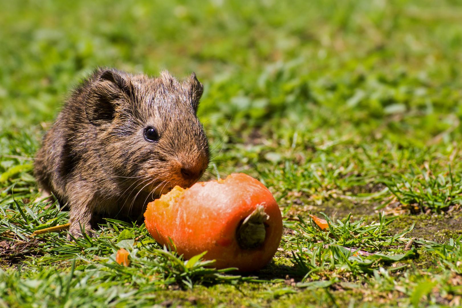 Kleines Schweinchen - Große Möhre