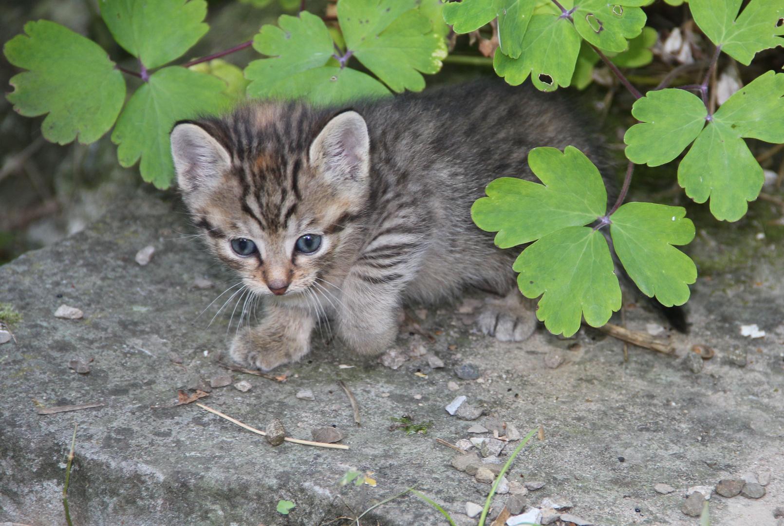 Kleines Tigerli.....neugierig erkundet es die Umgebung