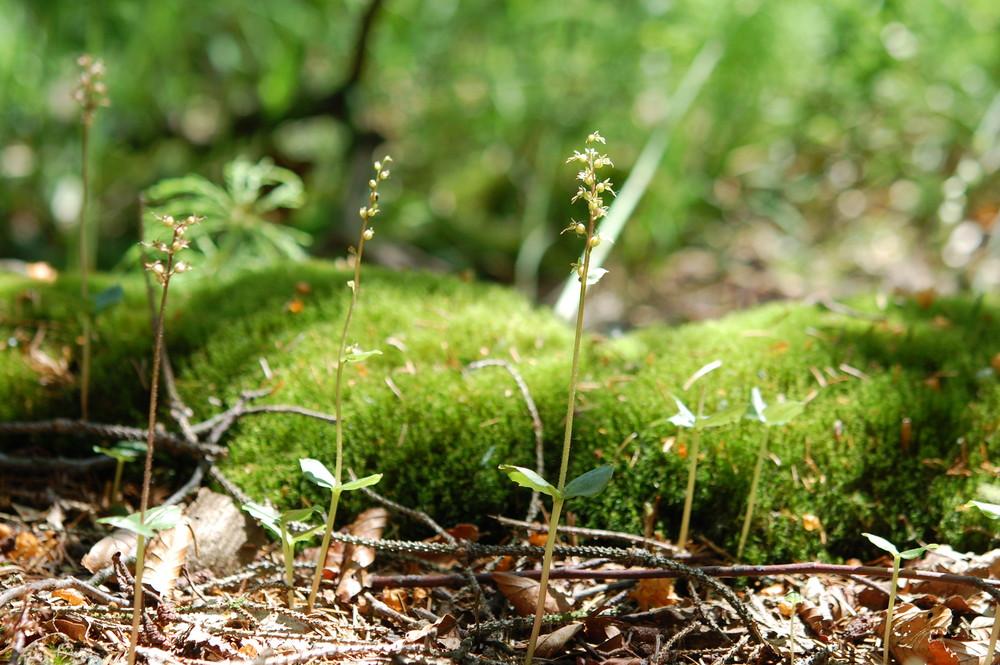 Kleines Zweiblatt bei Winterberg im Biotop