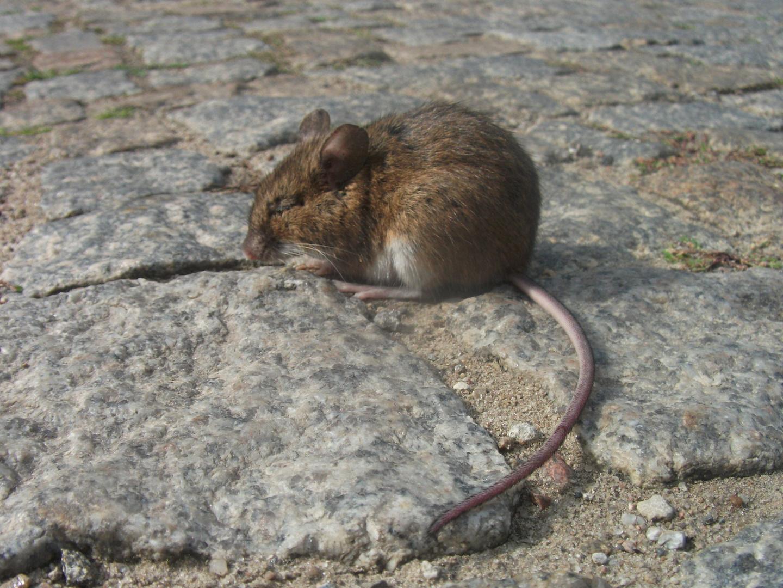 Kleines,süßes,Mäuschen