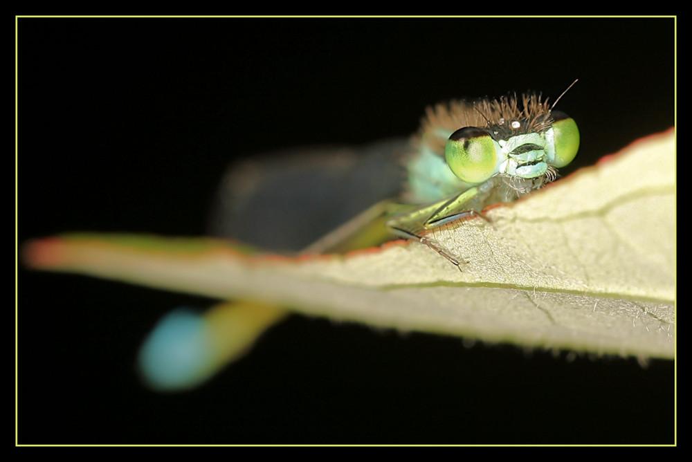 Kleinlibelle macht große Augen
