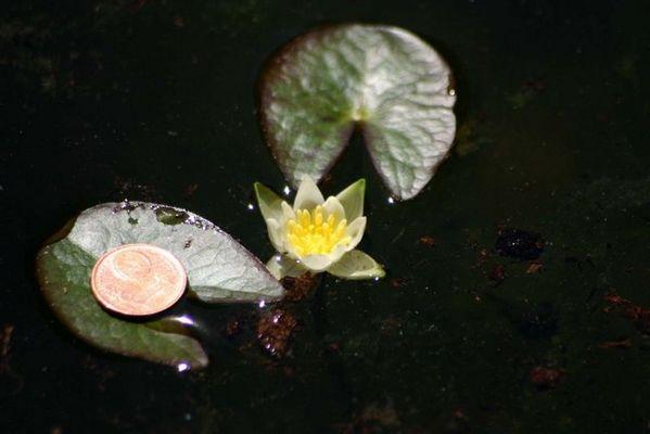Kleinste Seerose der Welt