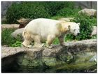 Kleinwüchsige Eisbärin