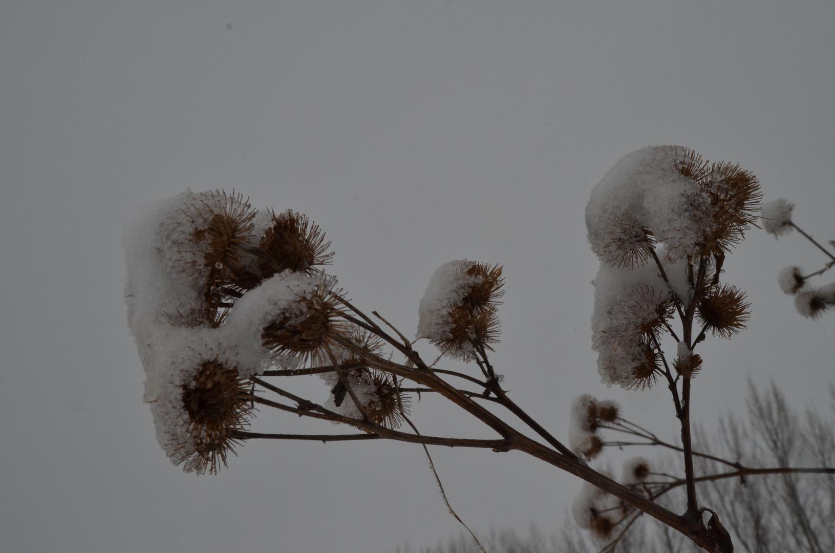 Klette im Winterschlaf