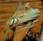 kletternder grüner Leguan (Iguana iguane)