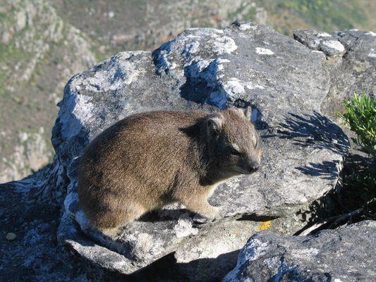 Klippenschliefer auf dem Tafelberg SA