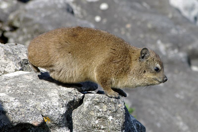 Klippschliefer (Rock Dassie)