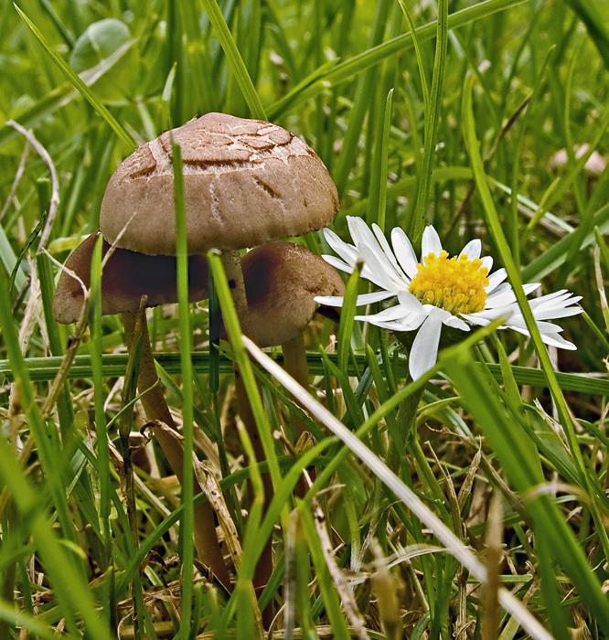 Klitzekleine Pilze mit Gänseblümchen