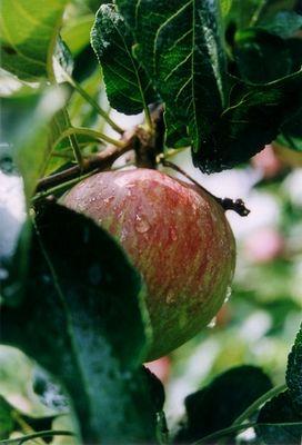 Knackfrischer Apfel