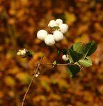 Knallerbsen im Herbst