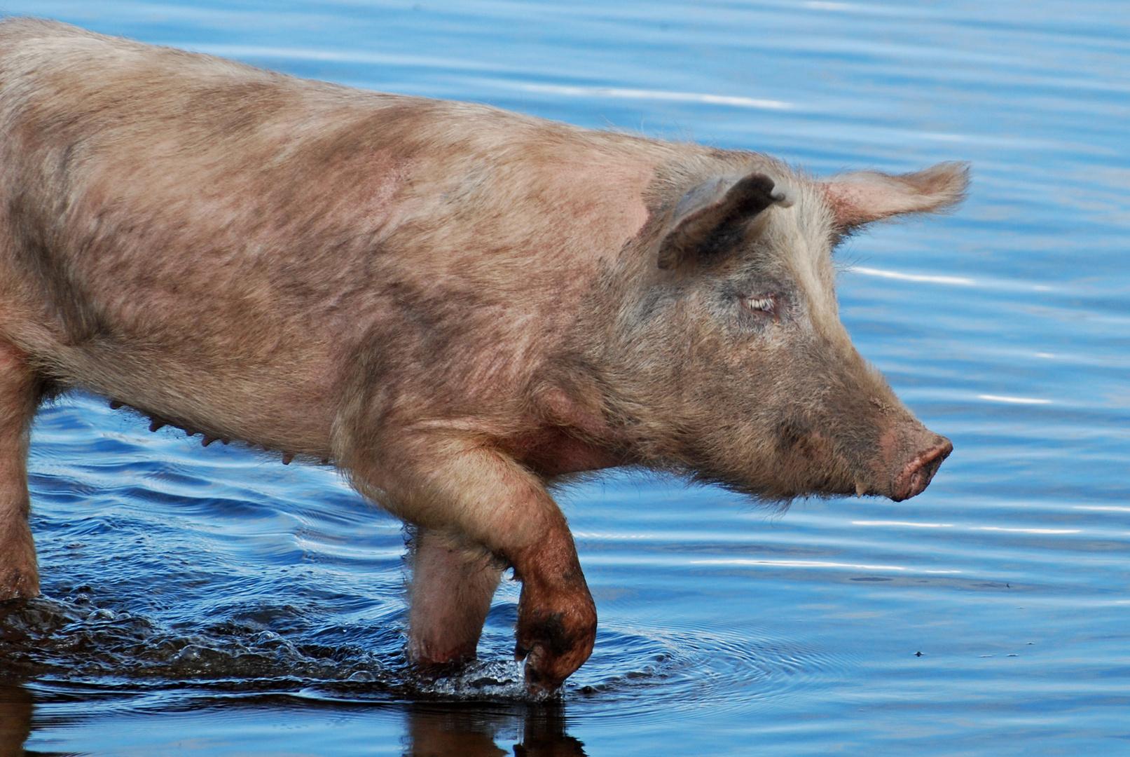 Kneipp für Schweine