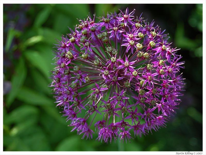 knoblauch bl te ende mai foto bild pflanzen pilze flechten bl ten kleinpflanzen. Black Bedroom Furniture Sets. Home Design Ideas