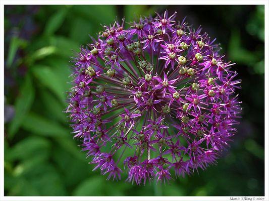 Knoblauch-Blüte Ende Mai
