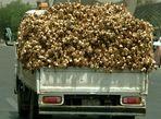 Knoblauch Transport auf Syrisch