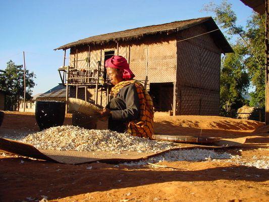Knoblauchernte im Hochland von Kalaw / Myanmar