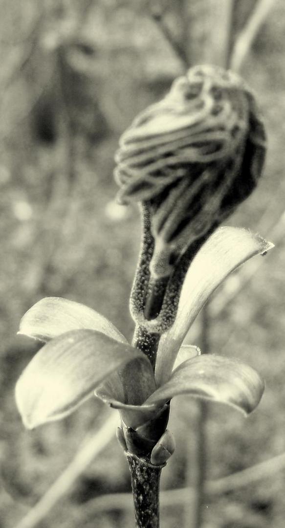 Knochenblume