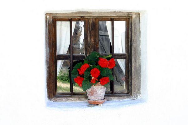 Knollenbegonien am Fenster