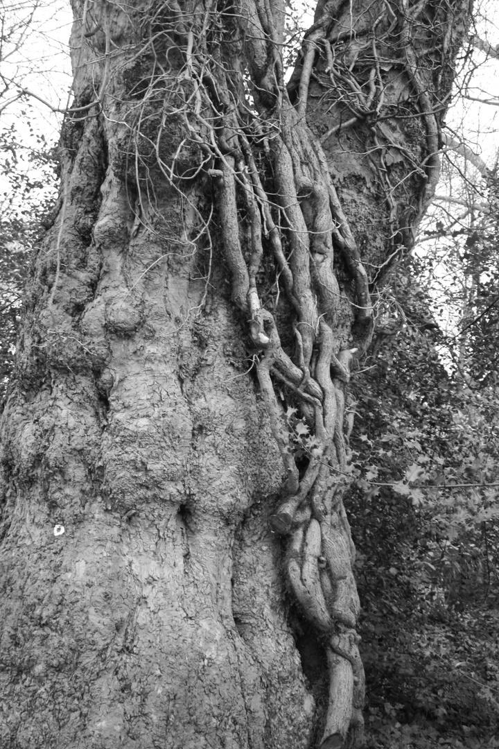 knorrig bewachsener winterlicher Baum (schwarzweiss)