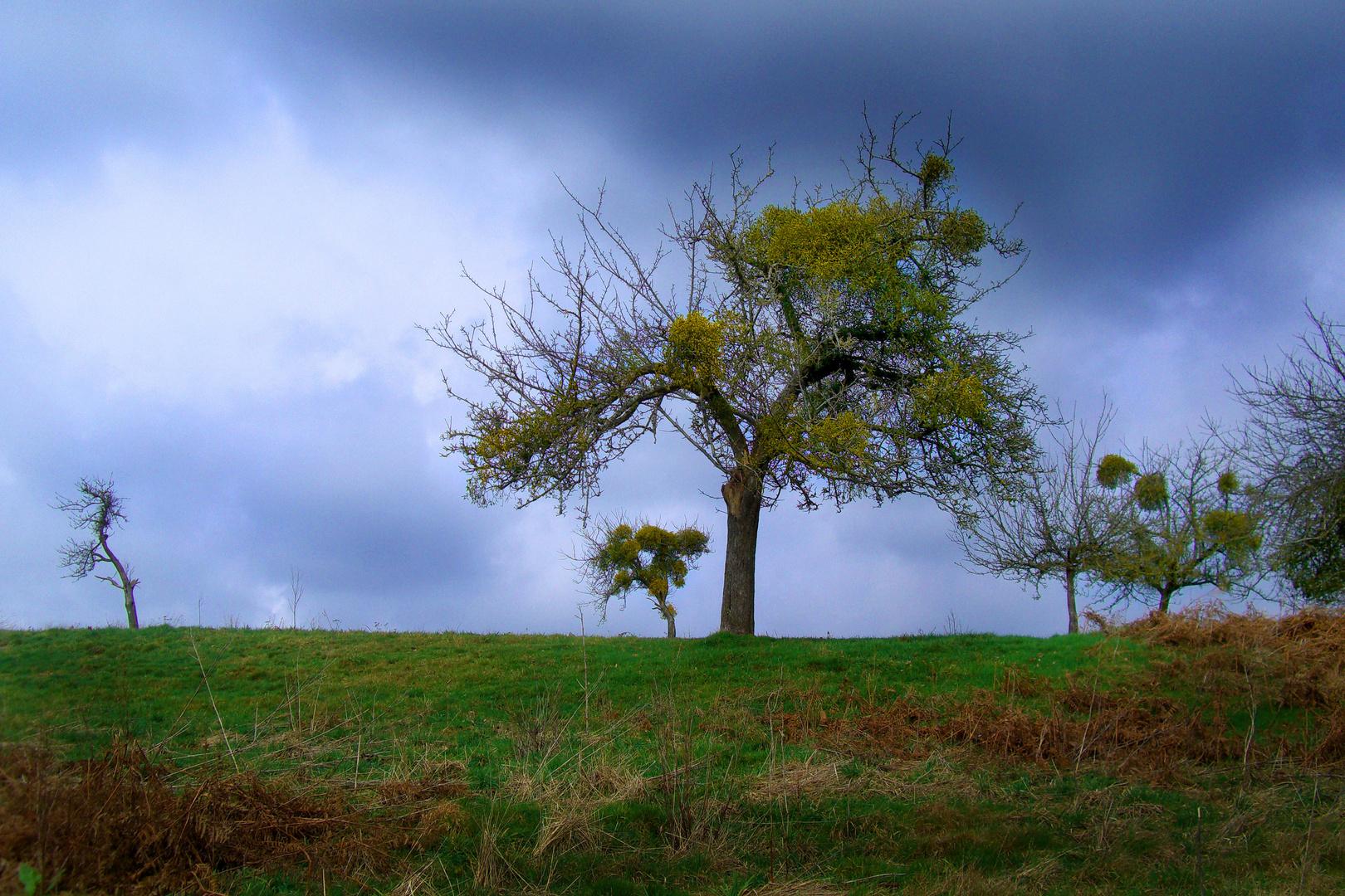 Knorrige Apfelbäume mit Mistelzweigen