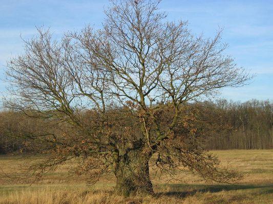 knorriger Baum am Kühkopf