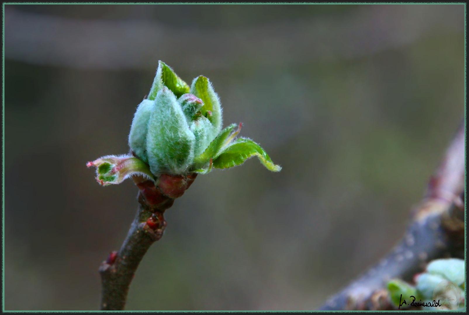Knospe Apfelbaum