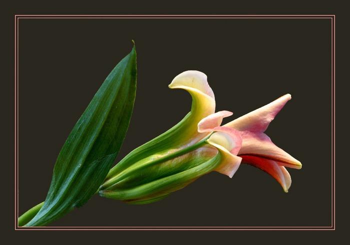Knospe einer Lilie