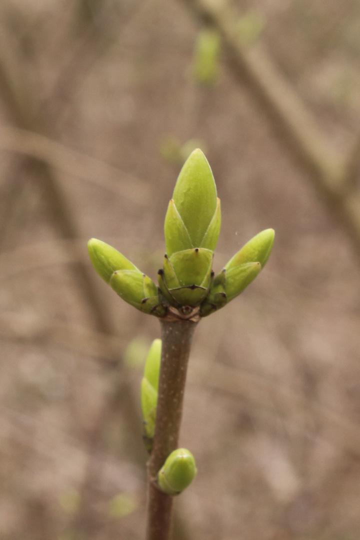 Knospe - Frühling