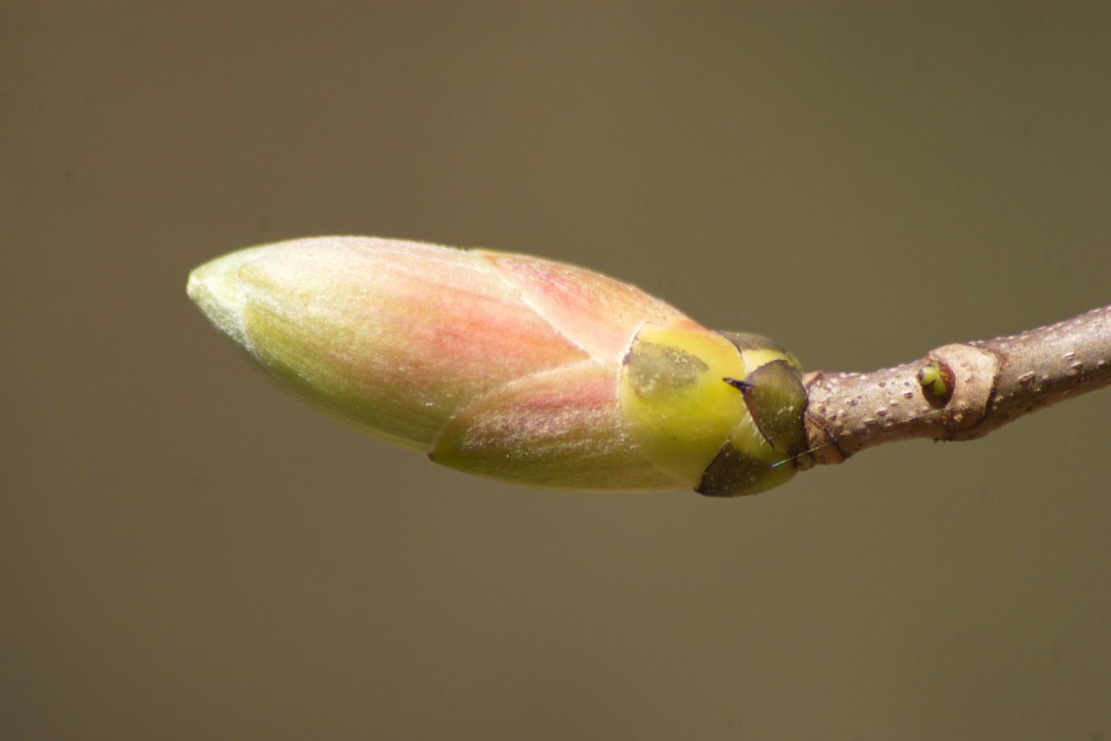 Knospe - Frühlingserwachen -